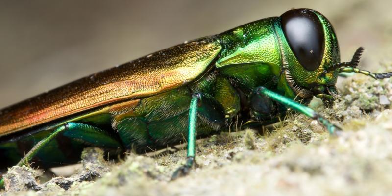 emerald ash borer laying down